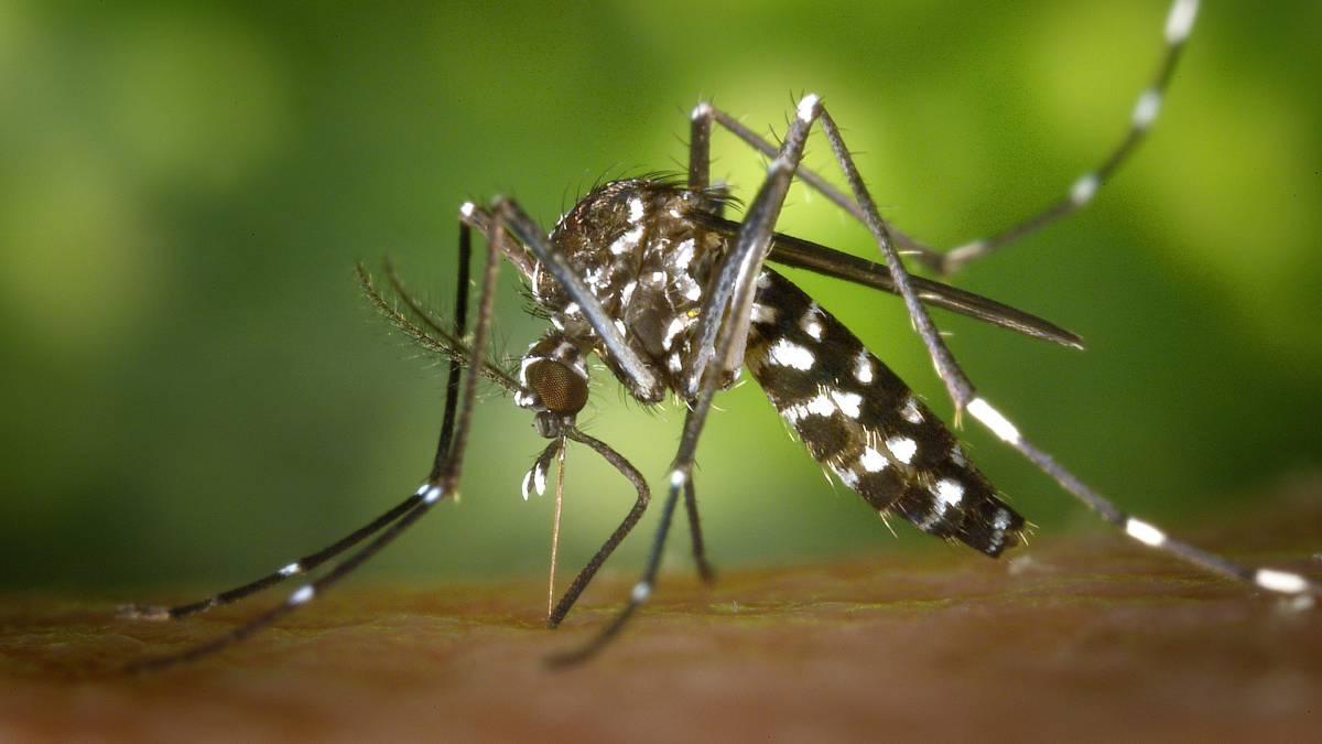 La ciencia ganó la batalla contra los mosquitos tigre