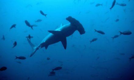 Insólito: Descubren tiburones vivos nadando dentro de un volcán activo