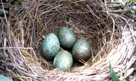Ya está resuelto el misterio de por qué los huevos son de distintos colores