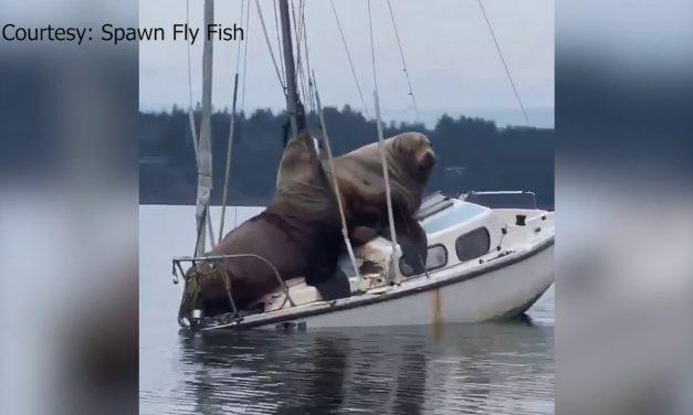 Dos leones marinos casi hunden un bote (video)