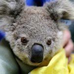 Millones de animales han resultado afectados por incendios en Australia