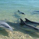 Cuarentena trajo delfines a la bahía de Pampatar, en Margarita