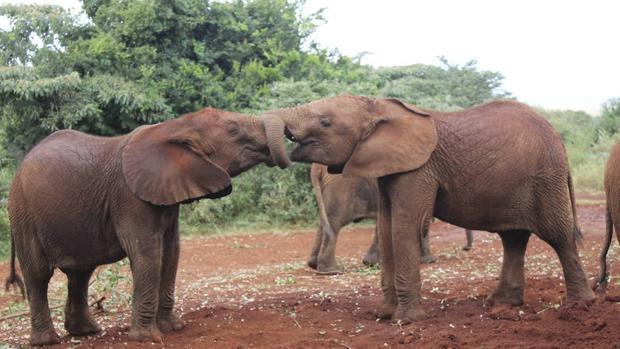 Un gen explica por qué los elefantes se emborrachan fácilmente