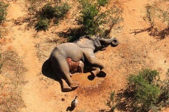 Fauna: La muerte de elefantes en Botsuana y el misterio que la rodea