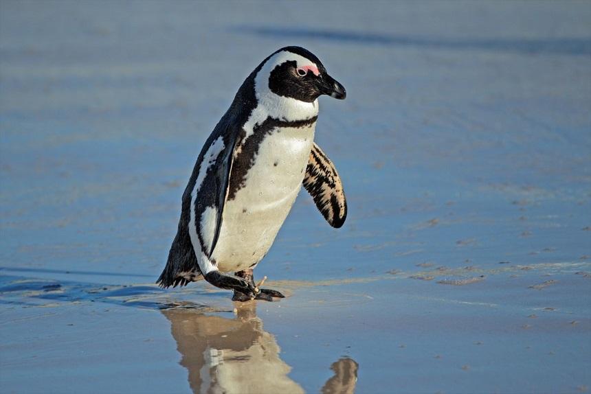 Fauna: Los pingüinos pueden disparar sus heces a más de un metro