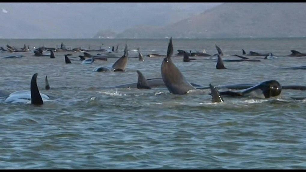 Casi 400 ballenas piloto mueren al quedar varadas en costas Australianas