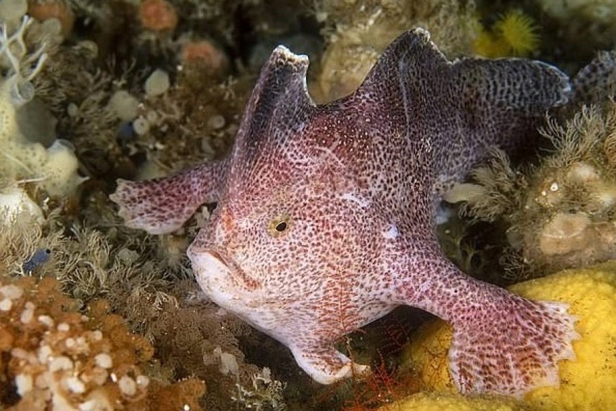 """El pez Mano Liso no se ha visto """"caminar en el fondo"""" desde 1802"""