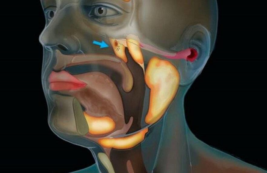 Investigadores explican que estas glándulas podrían tener una función de humectación y lubricación de la parte superior de la garganta