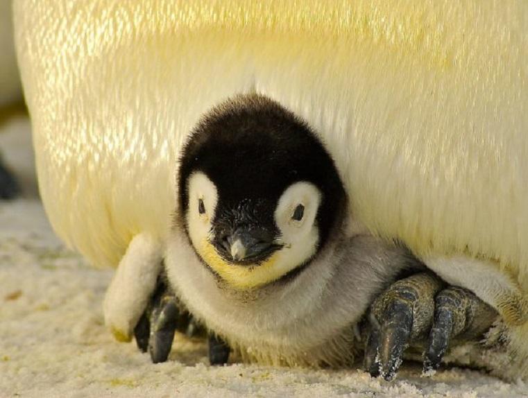 Conoce a Alex, el primer pingüino antártico nacido en México