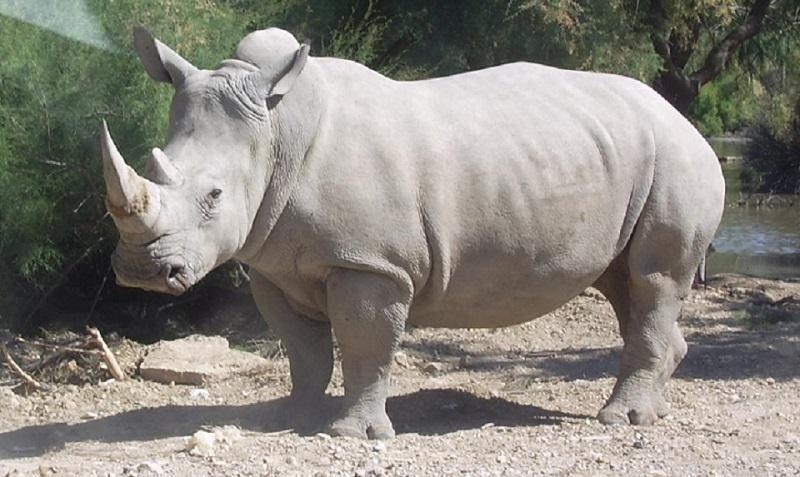 Ciencia: crean dos embriones de rinoceronte blanco del Norte