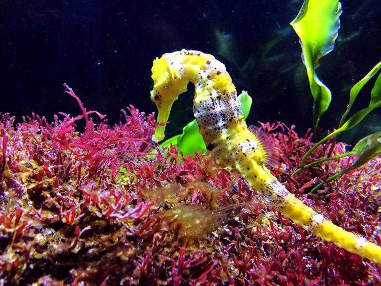 Conoce por qué se embarazan los caballitos de mar machos