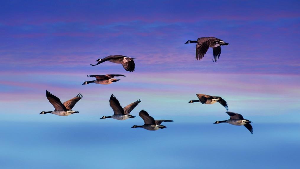 Las aves se orientan en vuelo gracias a un proceso cuántico