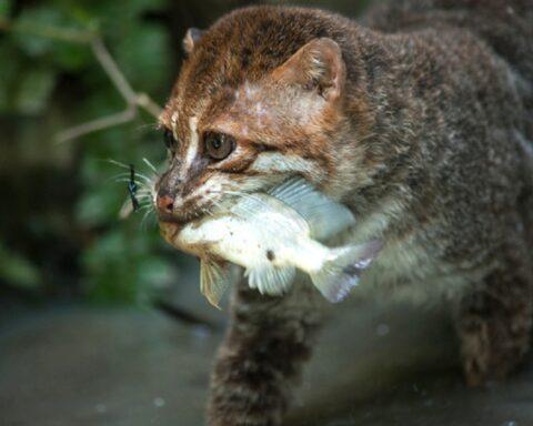 Conoce el gato de cabeza plana, el más raro y escaso de todo Asia
