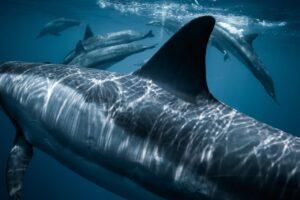 Tiburones en Venezuela