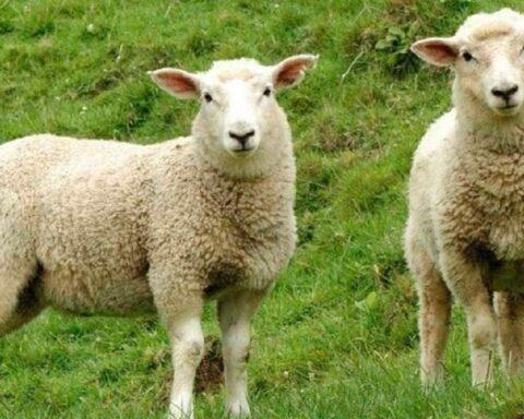 Estudio demuestra que las ovejas pueden reconocer rostros humanos