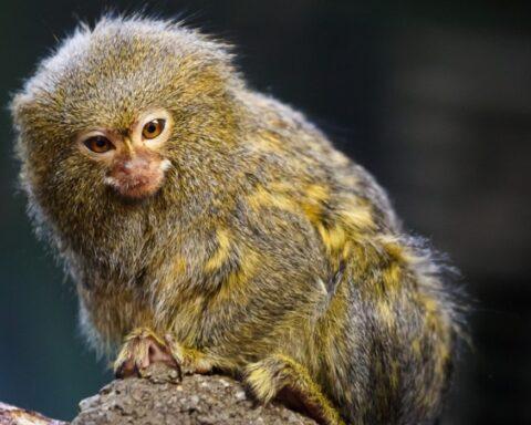 Científicos descubren nueva especie del primate más pequeño del mundo