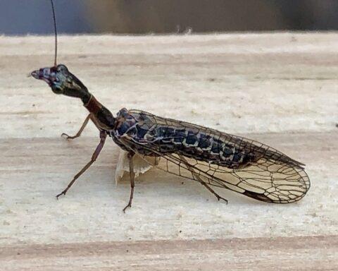 Nuevos fósiles ahondan sobre el misterio de la mosca serpiente