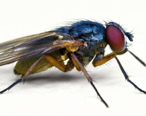 Descubre quince datos interesantes sobre las moscas que no sabías