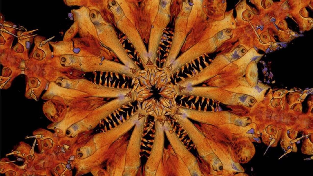 Hallan nueva especie de animal marino con muchas hileras de dientes