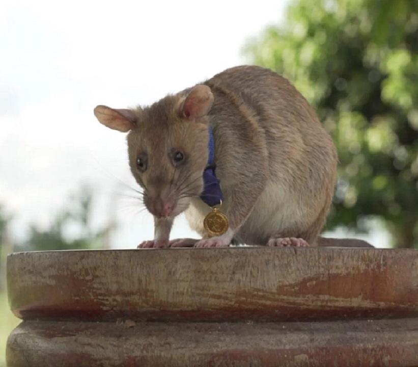 Conoce la historia de Magawa, la rata que salvó miles de vidas
