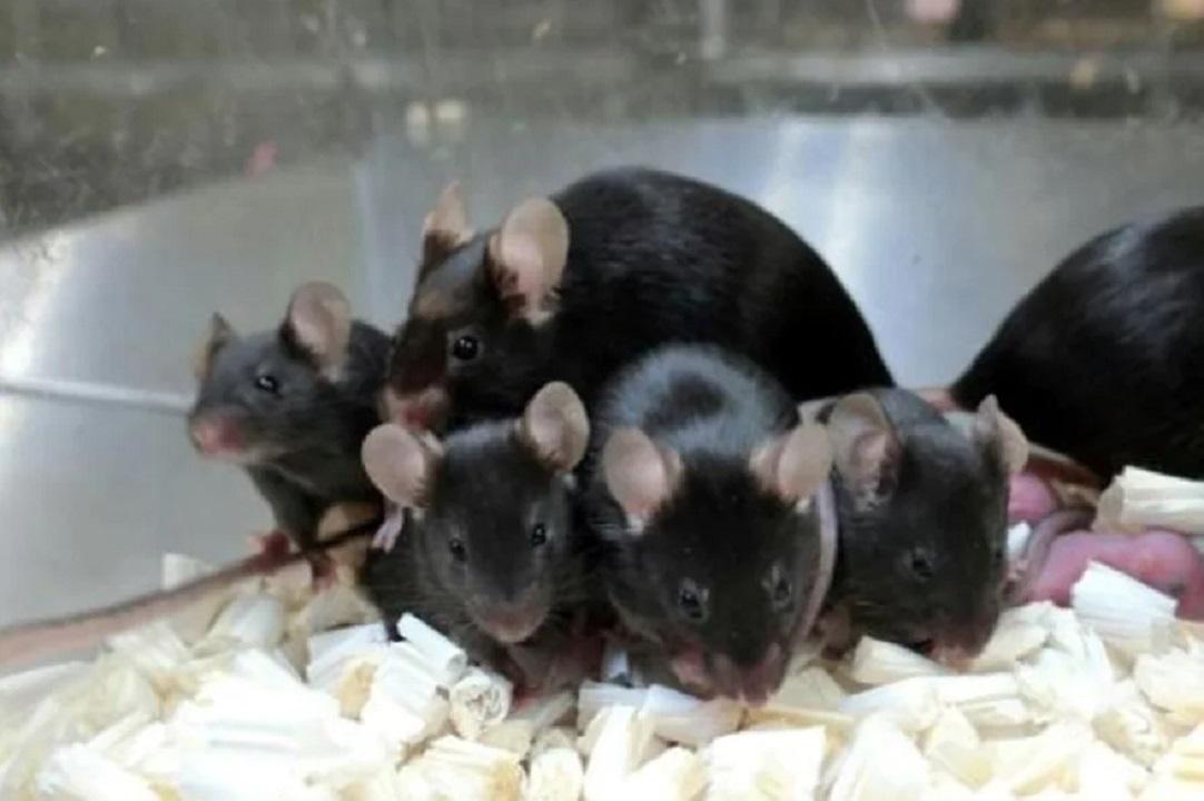 """ISS: esperma de ratón guardado produjo """"crías espaciales"""" saludables"""