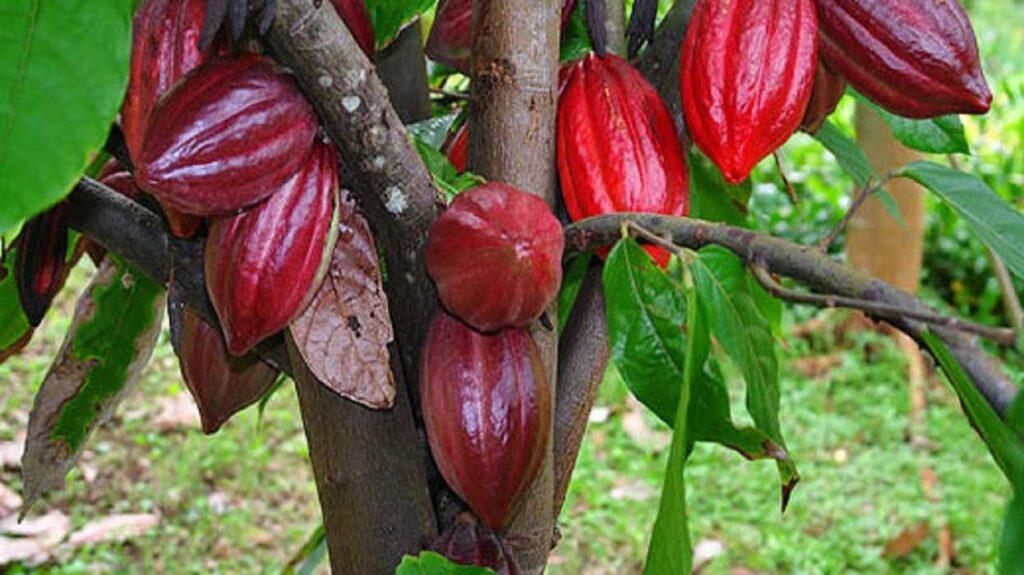 El cacao: curiosidades que desconocías sobre su descubrimiento