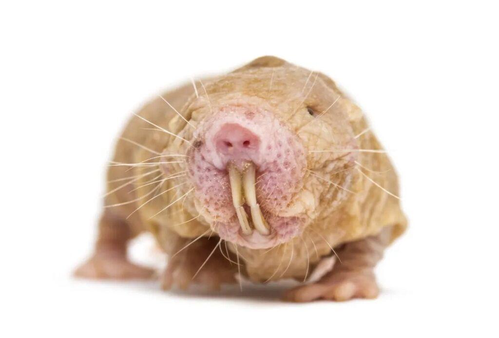 La rata topo desnuda
