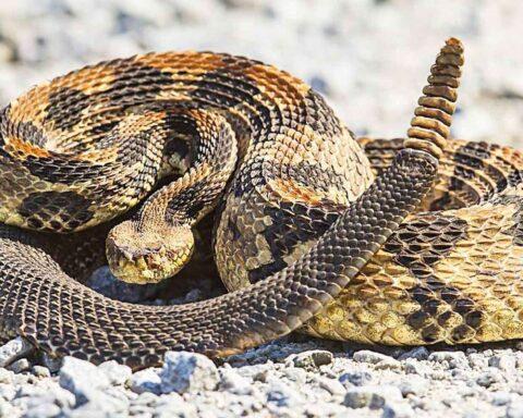 La serpiente de cascabel: la más venenosa de América