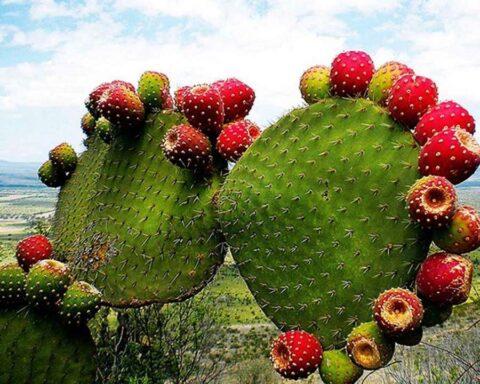 Nopal: el cactus que te ofrece increíbles beneficios para la salud