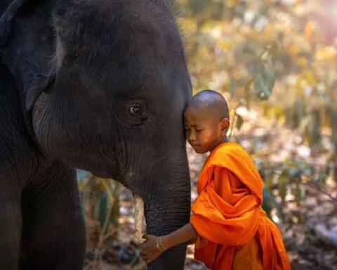 Caza furtiva provoca la evolución de elefantes sin colmillos